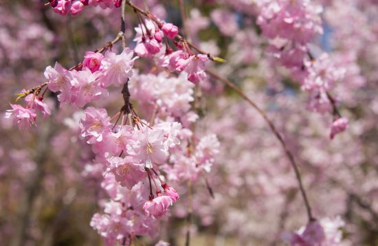 Japonia ciresilor infloriti martie