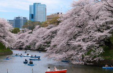 Ciresi infloriti - Tokyo, Japonia