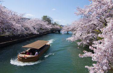 Ciresi infloriti - Japonia