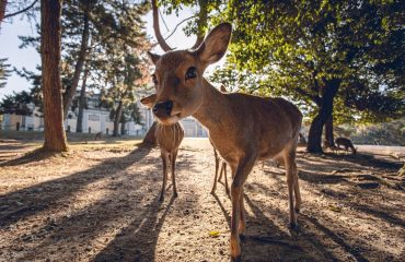 Parcul Nara, Japonia