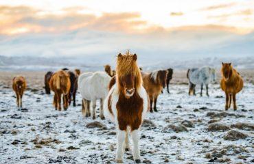 Caii islandezi