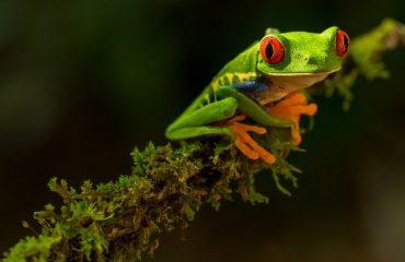 Ochi rosii broasca verde