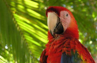 Papagalul roșu de macaș